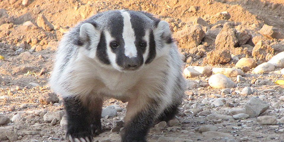 Badger Image by H. Rieser